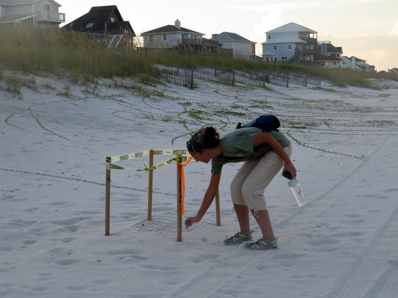 Feathering a Sea Turtle Nest