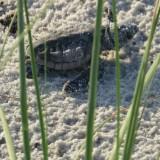 Turtle Patrol on the Florida Panhandle