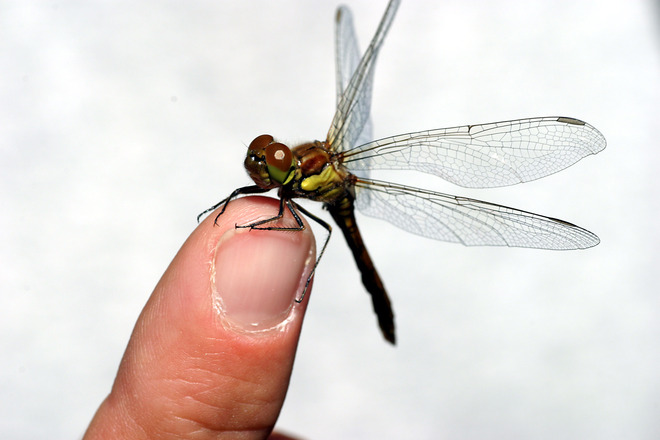 Image courtesy of Armin Hanisch via freeimages.com Dragon fly