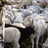 Savoring Sun Valley and the Trailing of the Sheep