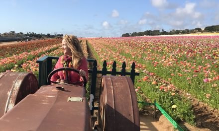 The Ranunculus Super Bloom in Carlsbad